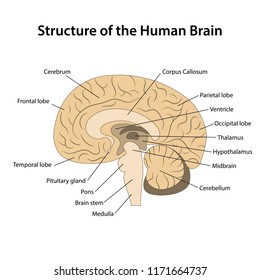Structure of the human brain with main parts labeled. Vector illustration
