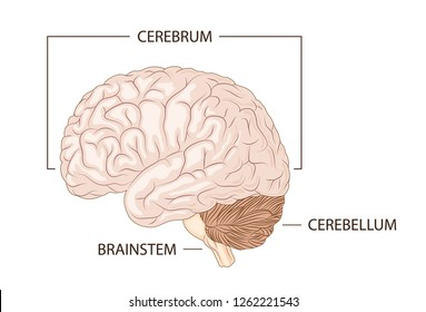 Structure of human brain schematic vector illustration. Medical science educational illustration.