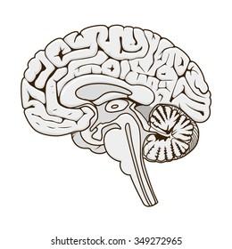 Cerebral Cortex Images, Stock Photos & Vectors | Shutterstock