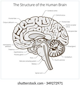 Labeled Brain Anatomy Images, Stock Photos & Vectors ...