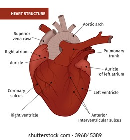 The structure of the human heart isolated on a white background. Vector illustration