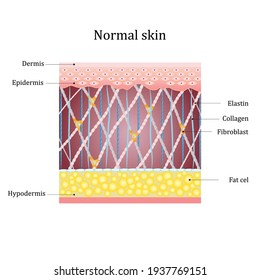 Structure human normal skin with collagen and elastin fibers, fibroblasts. Vector diagram