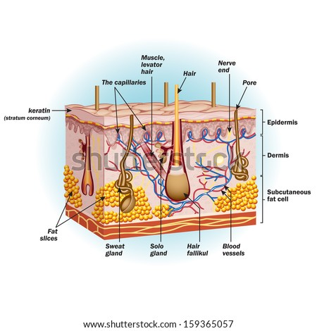 Structure Human Skin Cells Vector Illustration Stock Vector Royalty