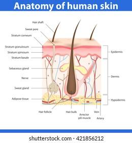 Structure of human skin, detailed description, vector illustration