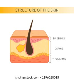 Structure of the human skin.  Epidermis, dermis and hypodermis.