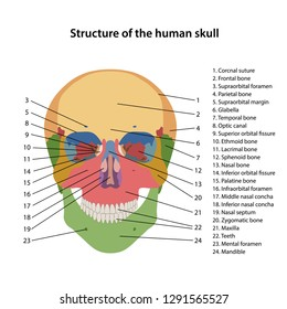 structure of the human skull with main parts labeled  frontal view  vector  illustration