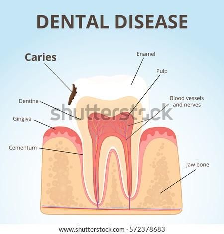 Human Teeth Structure Diagram Diy Enthusiasts Wiring Diagrams