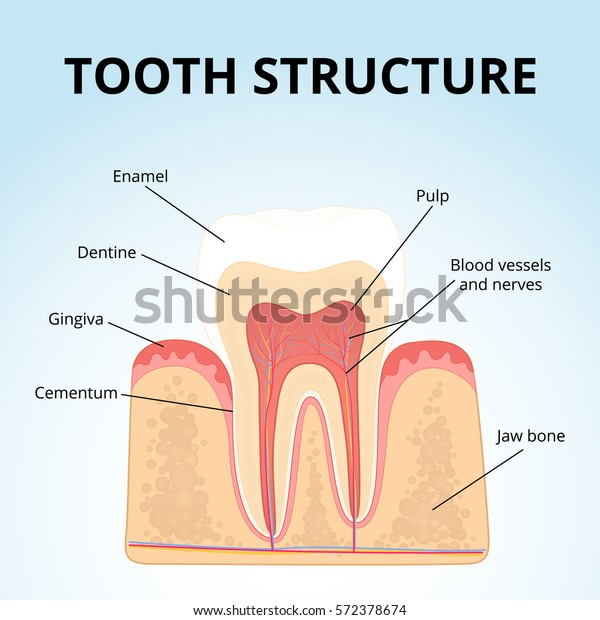 the structure of human teeth, medical diagram of the structure of the inside  cross-