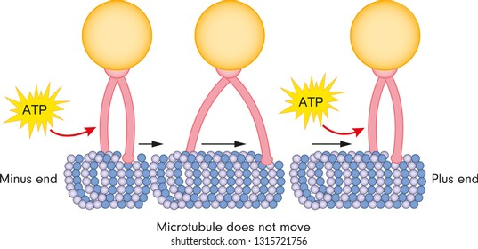 Structure of kinesin (motor proteins). kinesin walking on a microtubule vector