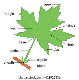 structure leaf elementary education 260nw 411923836 leaf structure images, stock photos & vectors shutterstock