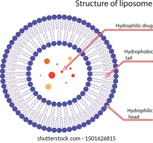 Structure of liposome, vector illustration
