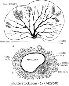 The structure of the liver and the arrangement of liver lobules around the sublobular branches of the hepatic vein in the upper image. Section of portal canal, showing its contained branches