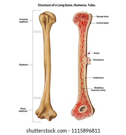 Structure of a Long bone. Humerus. Tube.