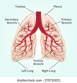 Structure of the lungs. Healthcare, and pleura, diaphragm and breath and thorax. Vector illustration