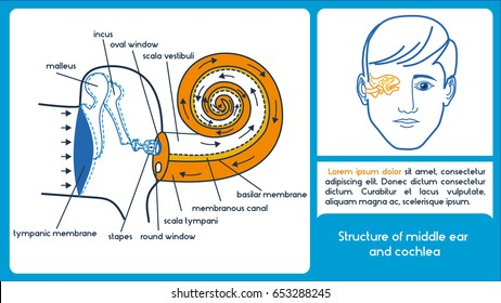 Structure of middle ear and cochlea. Location of semicircular canals and cochlea. Infographic scheme.
