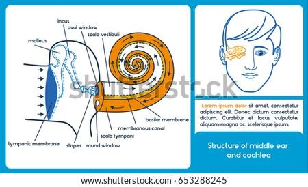 Structure Middle Ear Cochlea Location Semicircular Stock Vector
