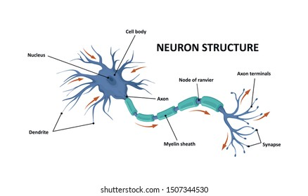 Structure of a motor neuron. Anatomy of the neuron of the brain