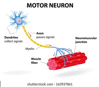Nerve cell diagram stock images royalty free images vectors structure motor neuron include dendrites cell body with nucleus axon myelin sheath ccuart Gallery