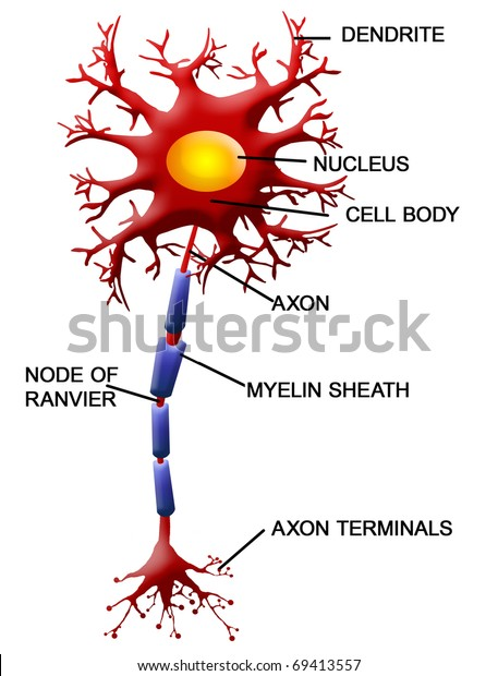 Structure of a motor neuron, vector illustration