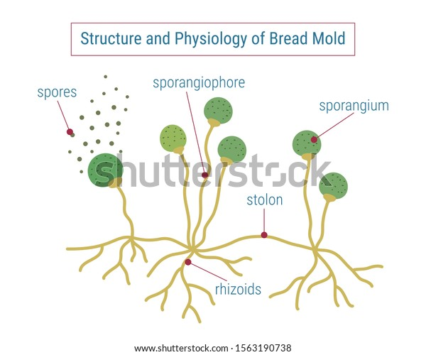 Structure Physiology Fungi Anatomy Mold Diagram Stock
