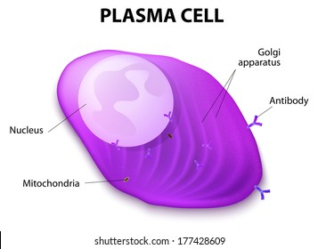 Structure of the Plasma cell. Plasma cell, or B cell, or plasmocyte. White blood cells that secrete of antibodies. They are transported by the blood plasma and the lymphatic system.