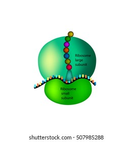 The structure of the ribosome. Infographics. Vector illustration on isolated background