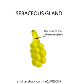 The structure of the sebaceous gland. Infographics. Vector illustration on isolated background