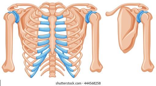 Diagram Showing Shoulder Bones Illustration Stock Vector Royalty
