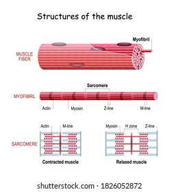 Structure Skeletal Muscle. myofibril with thin and thick filament. close up of a sarcomere. Muscles contract by sliding the myosin and actin filaments along each other. Biomedical Science