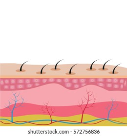 The structure of the skin cells under the skin show. Vector diagram