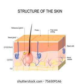 Structure of the skin. Skin layers with blood vessel, free nerve ending, pores and glands (sebaceous and sweat glands). Human anatomy