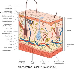 The structure of the skin vector.  Skin anatomy classification with human body, vein, hair, sweat gland, epidermis and hypodermis.