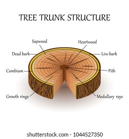 The structure of the slice of the tree layers in cross section. Education biology poster, vector illustration