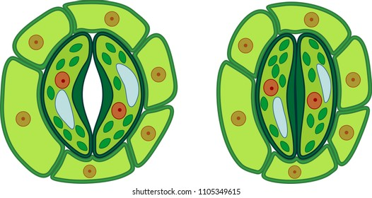 Structure of stomatal complex with open and closed stoma