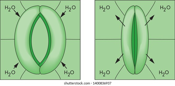 Structure of stomatal complex with open and closed stoma with