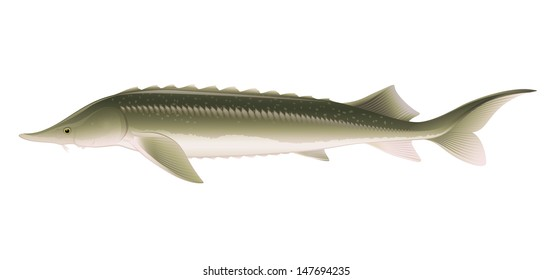 "Sturgeon Fish (Acipenser) Isolated on White Vector ""Full compatible. Created with gradients."""