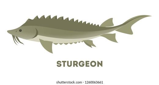 Sturgeon fish from the ocean or sea. Idea of fishing. Marine creature. Wildlife in water. Flat vector illustration