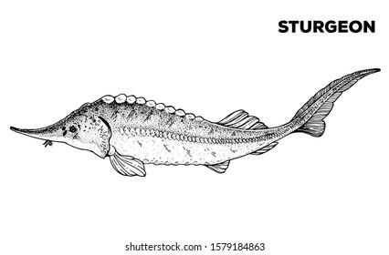 Sturgeon fish sketch. Hand drawn vector illustration. Seafood design element for packaging. Engraved style illustration. Can used for packaging design. Sturgeon fish label.