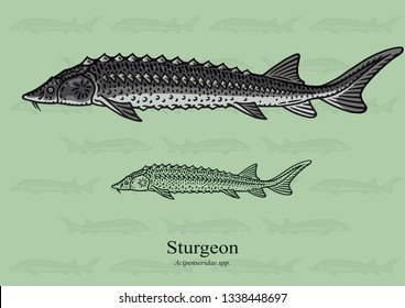Sturgeon, Russian Sturgeon. Vector illustration with refined details and optimized stroke that allows the image to be used in small sizes (in packaging design, decoration, educational graphics, etc.)