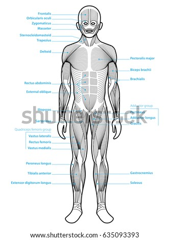 Stylized Anatomy Diagram Showing Major Muscle Stock Vector Royalty