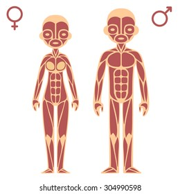 Stylized cartoon male and female muscle charts with gender symbols.
