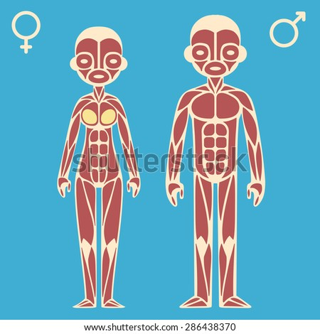 Stylized Cartoon Male Female Muscle Charts Stock Vector Royalty