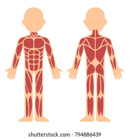Stylized muscle anatomy chart, front and back. Male body major muscles, flat cartoon vector style infographic illustration.
