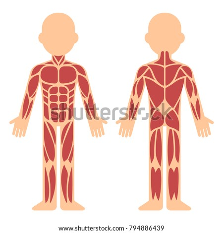 Stylized Muscle Anatomy Chart Front Back Stock Vector (Royalty Free ...