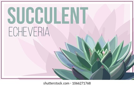 Succulent of echeveria agavoides on a pink background. Template for the banner, card or flyer.