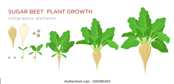 Sugar beet plant growth stages infographic elements. Growing process of sugar beet from seeds, sprout to mature plant with ripe fruit and roots, vector illustration isolated on white background.