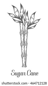 Sugar cane stem branch and leaf vector hand drawn illustration. Sugar cane Black on white background. Sugar cane Engraving style.