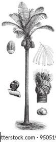 Sugar Palm (Arenga saccharifera) / vintage illustration from Meyers Konversations-Lexikon 1897