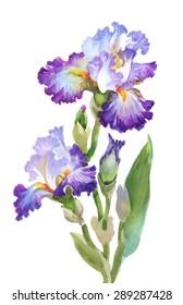 Summer garden iris flowers, watercolor vector illustration