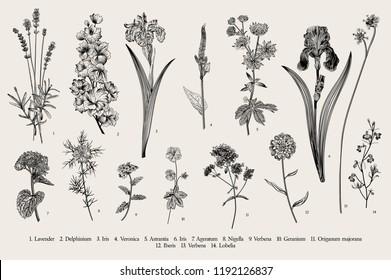 Summertime. Garden flowers. Vector vintage botanical illustration. Black and white